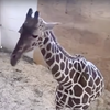 Does A Pregnant Giraffe Deserve Privacy?