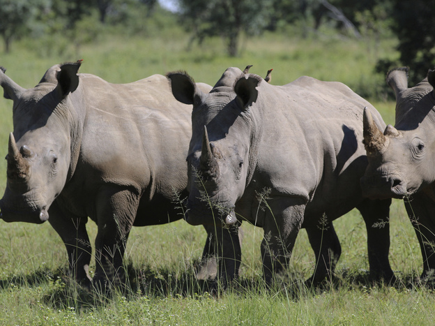South Africa considers legalizing domestic rhino horn trade