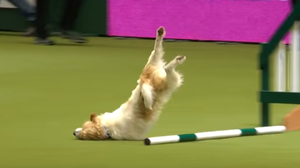 WATCH: Olly The Terrier Face-Plants His Way To Dog Show Glory