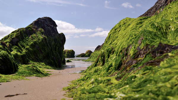 Sea algae at low tide along the Irish coast. Seaweed was long a part of Irish cuisine. Nutrient-rich, it helped some survive the Great Famine. Irish cooks reviving the practice say it