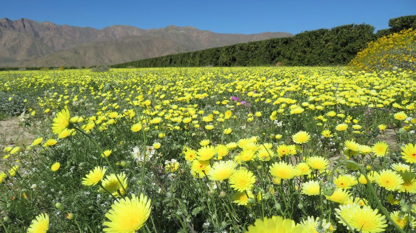 california deserts in u0027super bloom u0027 thanks to a wet winter npr