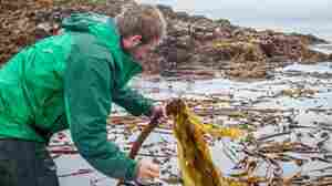Alaska's Growing Kelp Industry Helps Drive Sea-To-Table Movement