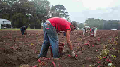 Fearful Farmers Rush To Find 'Guest Workers'