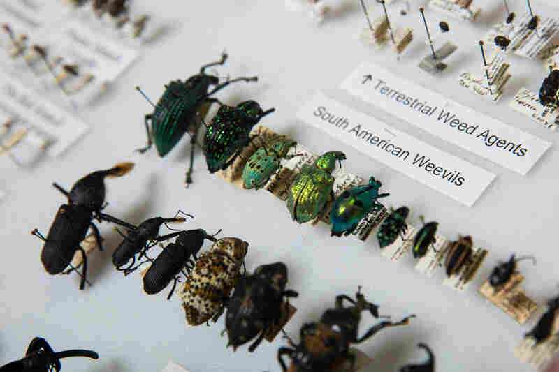 Charlie O'Brien was a renowned weevil researcher, who discovered hundreds of weevil species, and the couple's weevil collection is particularly extensive. They chose to donate their trove to ASU in part because another of the world's foremost weevil experts is a professor there