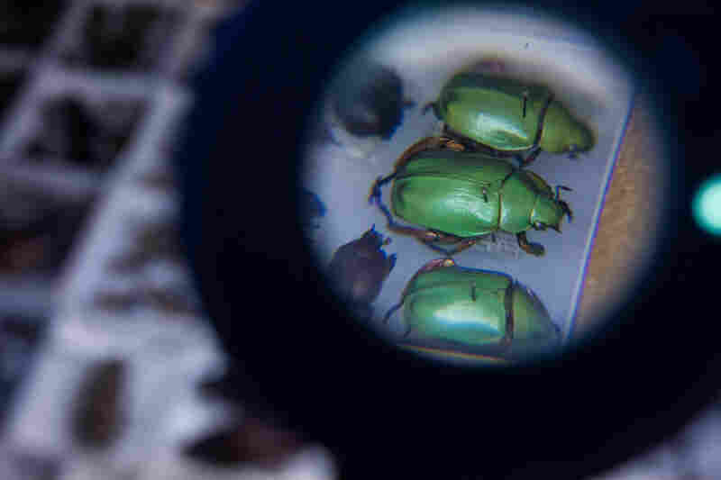 Beetles in the O'Brien collection are seen through a magnifying glass on March 8.