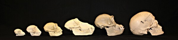 From left to right: lemur, vervet monkey, gibbon, baboon, chimpanzee, human (excluded in this study).