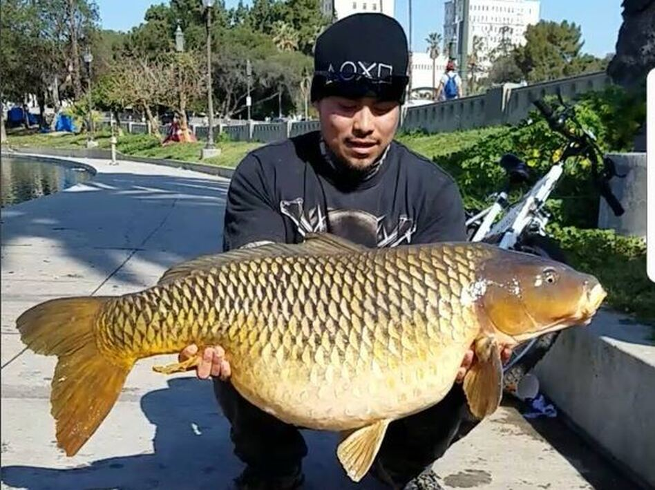 Fishermen catch 50 pound carp in the middle of los angeles for Fishing in los angeles