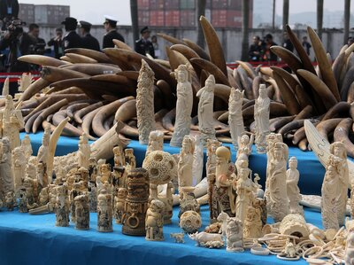 Good News For Elephants: China's Price Of Ivory Has Plummeted