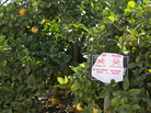 Pesticide warning sign in an orange grove. The sign, in English and Spanish, warns that the pesticide chlorpyrifos, or Lorsban, has been applied to these orange trees.