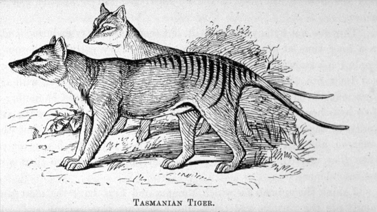 Back From The Dead Reported Sightings Fuel Hope For Return Of Tasmanian Tigers The Two Way Npr