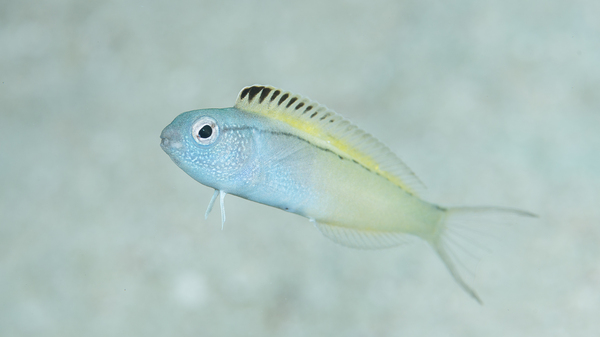 The deceptively adorable fangblenny is only 2 inches long and lives in places like Australia