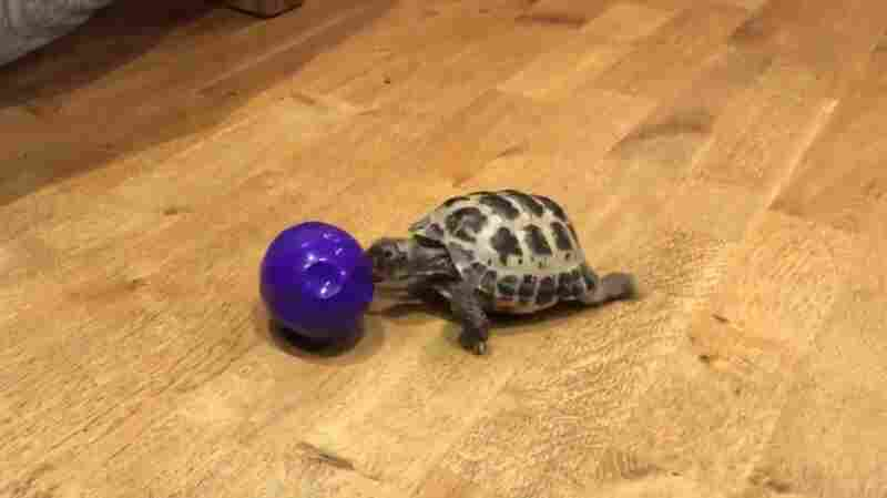 Bubba The Tortoise Dazzles Millions, Simply By Playing With A Ball