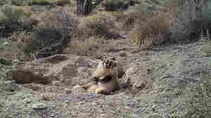 VIDEO: Badger Burying A Cow Surprises Scientists