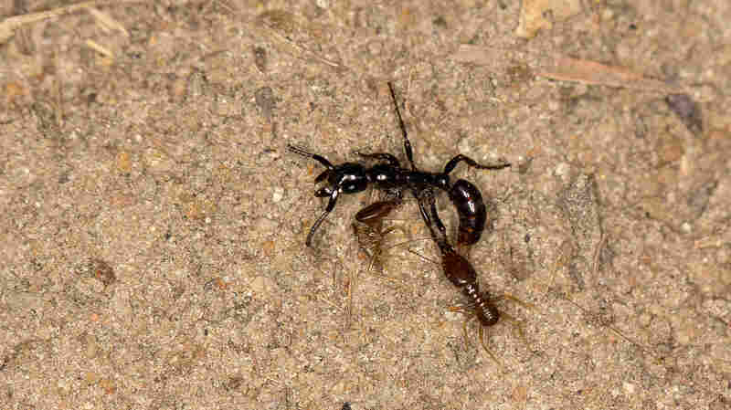 No Ant Left Behind: Warrior Ants Carry Injured Comrades Home