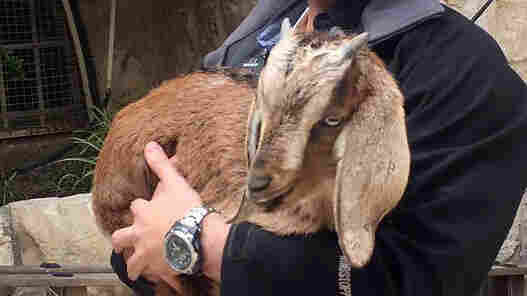 Goats Are Rescued On Their Way To Being Sacrificed In Jerusalem