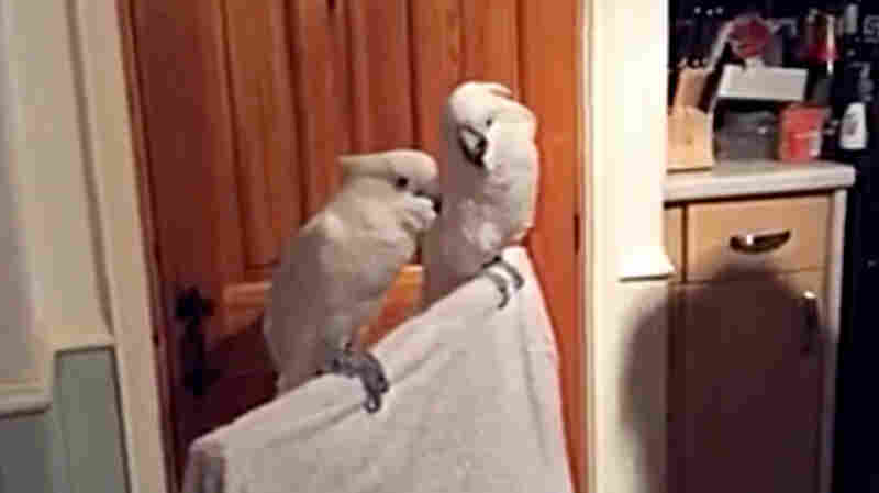 Which Cockatoo Are You?