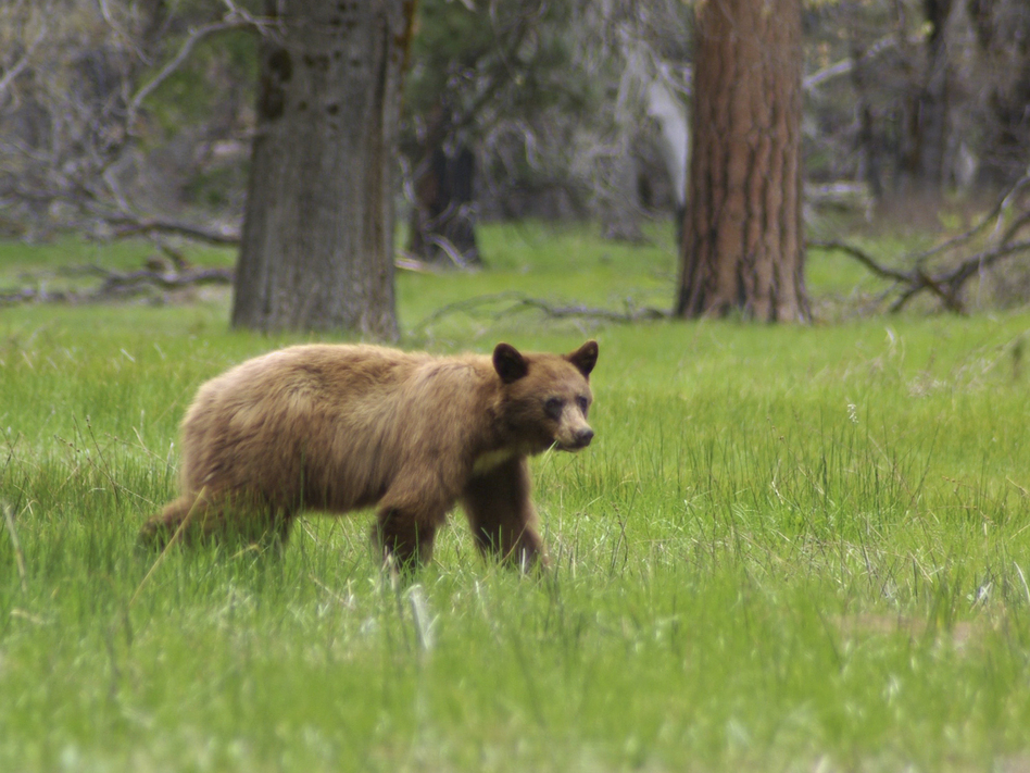An American black bear (they are often brown) is seen in Yosemite National Park. Rangers hope tracking the bears' locations will help prevent the animals from being hit by cars. (Yosemite National Park via AP)
