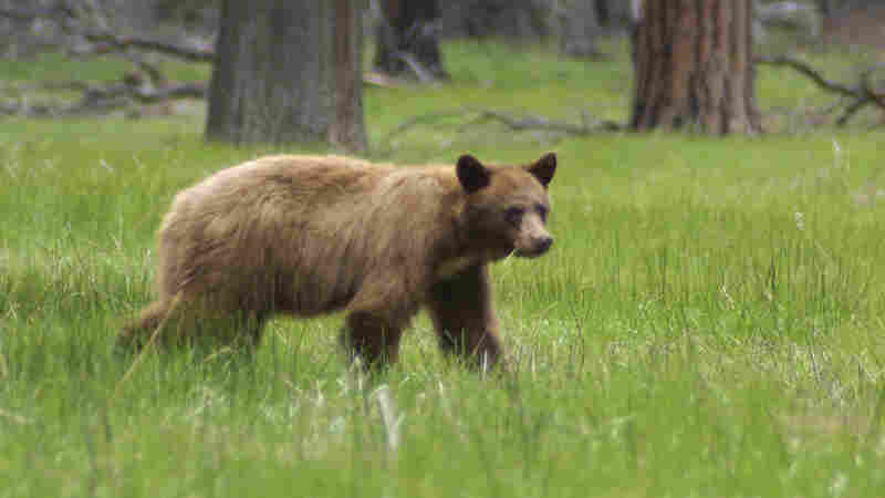 Yosemite Rangers Use Technology To Save Bears From Cars