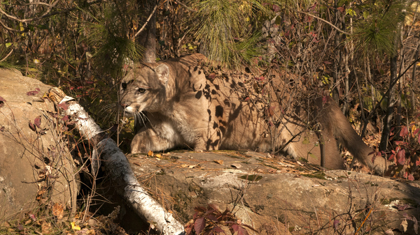 A mountain lion — not this one — is suspected of making off with a 15-pound Portuguese Podengo in the middle of the night in Pescadero, Calif.