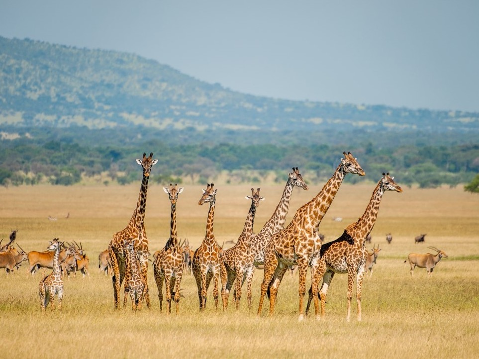 A herd of giraffes in Tanzania in 2012. An average of one giraffe trophy per day is imported to the United States.     (Barbara Hollweg/IFAW)