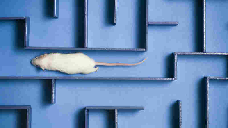 Human Umbilical Cord Blood Helps Aging Mice Remember, Study Finds