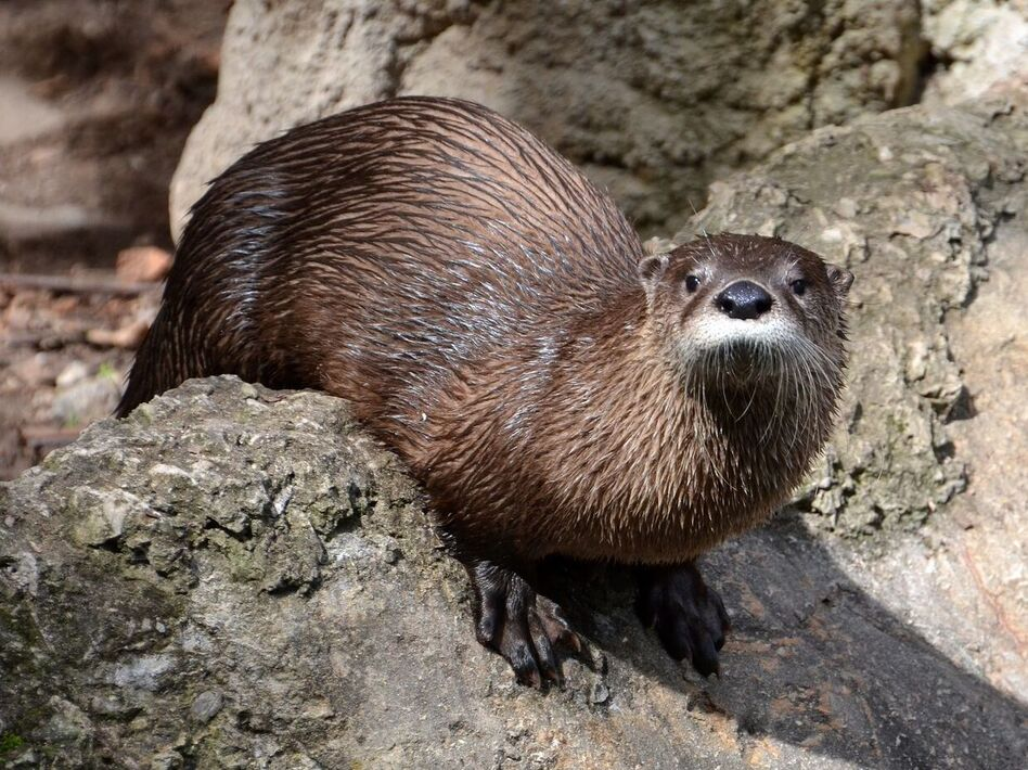 Molly, a female otter who came to the Virginia Living Museum from an aquarium in San Francisco in 2014.