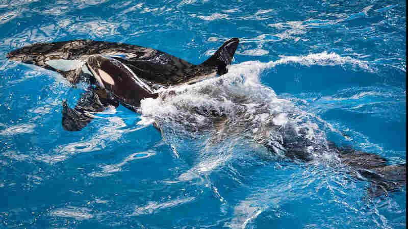 SeaWorld Welcomes Its Last Orca Born In Captivity