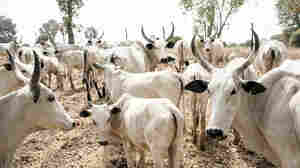 Clashes Over Grazing Land In Nigeria Threaten Nomadic Herding