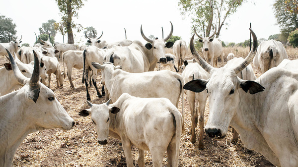 Cattle owned by Fulani herdsmen graze in a field outside Kaduna, northwest Nigeria in February 2017.