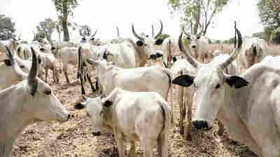 Clashes Over Grazing Land In Nigeria Threaten Nomadic Herding
