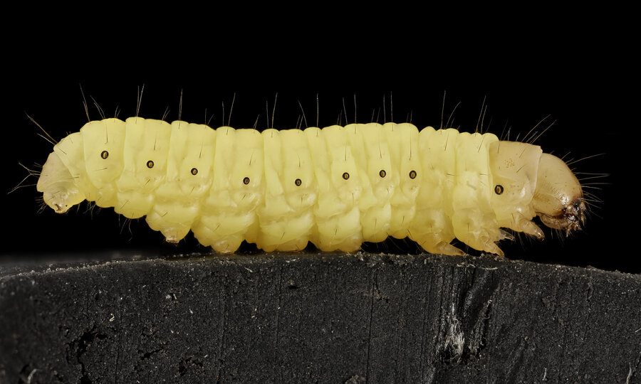 the lowly wax worm may hold the key to biodegrading plastic the