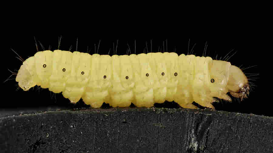 A Worm May Hold The Key To Biodegrading Plastic