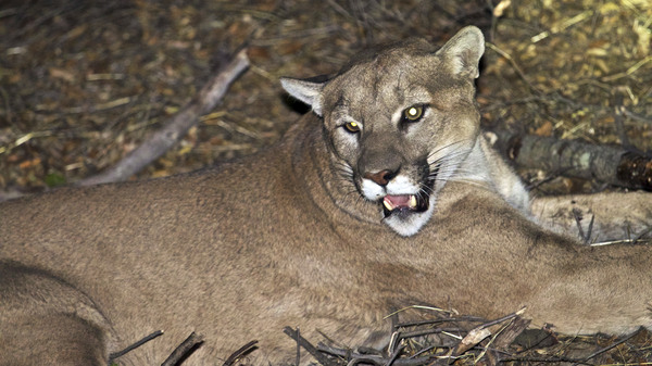 """A mountain lion, although not this one, has been confirmed as the """"shadow of an animal"""" that made off with a Pescadero, Calif., homeowner"""