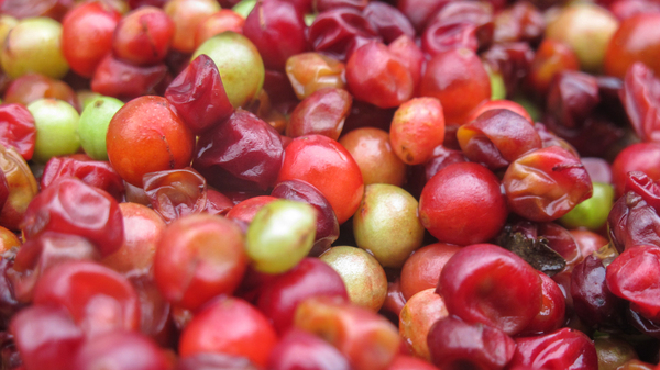 The small, red schisandra berry has a peculiar taste — five tastes, in fact, because it