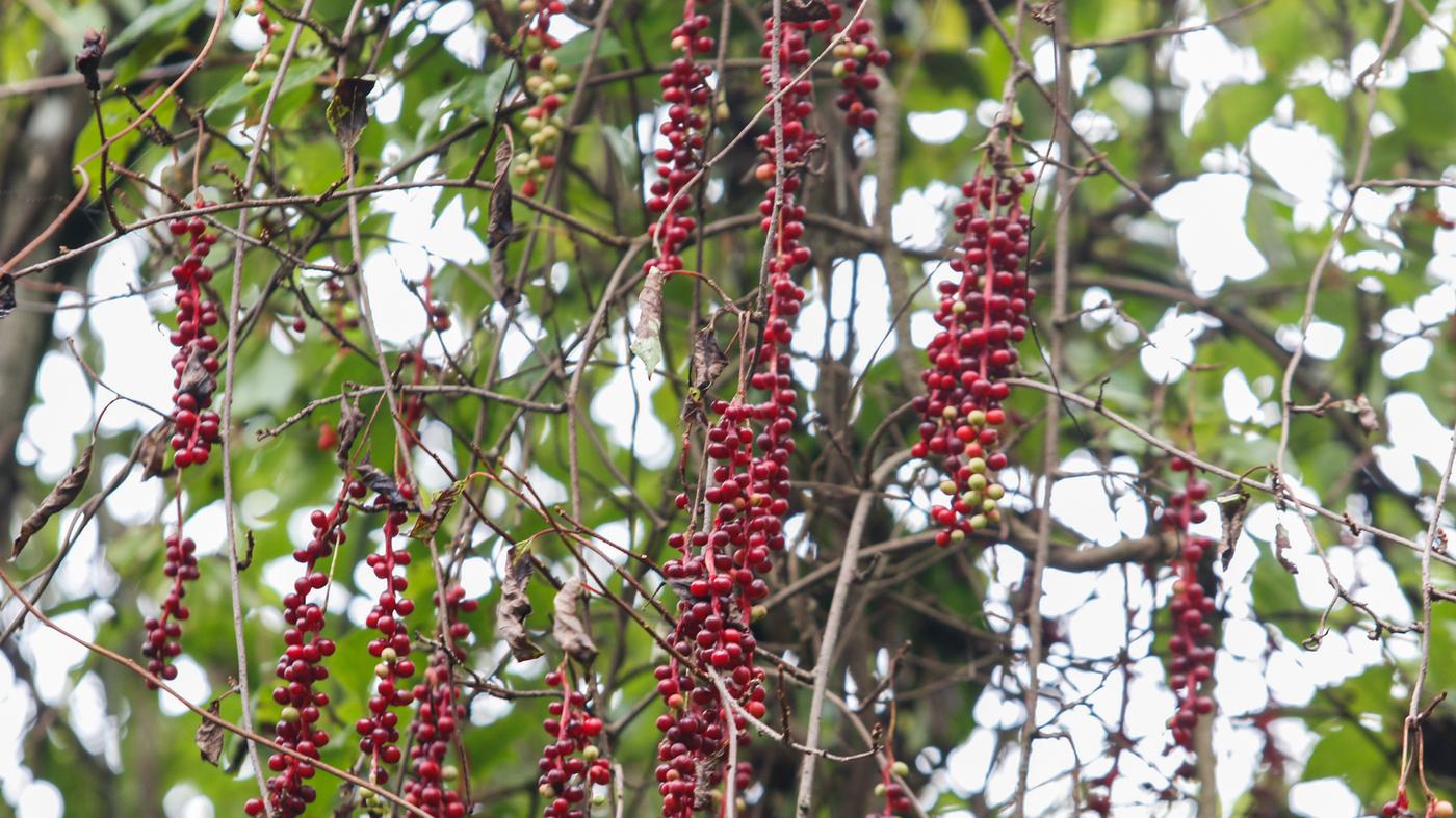 schisandra vines huangyang by tan qi wide d5c52527e6aa85611675530e45ee4fc4c152fc14 jpg?s=1400.'