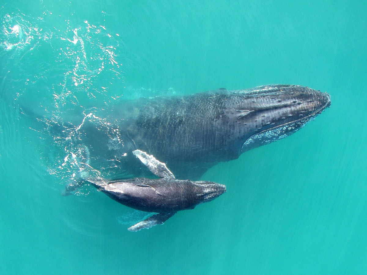 Recordings Reveal That Baby Humpback Whales 'Whisper' To ...