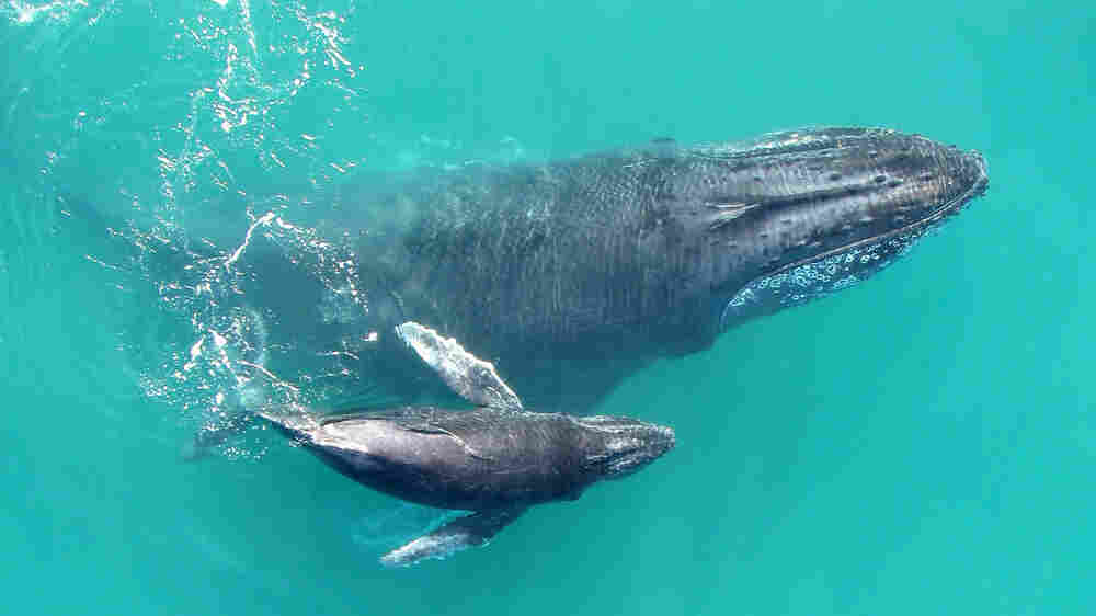 Recordings Reveal That Baby Humpback Whales 'Whisper' To Their Mothers