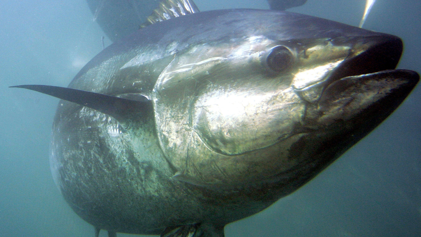 Mexico Can Seek Millions From US In Dolphin-Safe Tuna Dispute, WTO Says