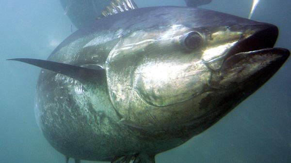 A bluefin tuna swims inside farming pens in 2007 prior to harvest near Ensenada, Mexico.