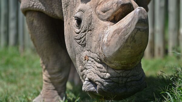 Sudan, the last known male of the northern white rhinoceros subspecies, stands for his close-up in a paddock last year at the Ol Pejeta Conservancy in Kenya. If Tinder users swipe right on Sudan