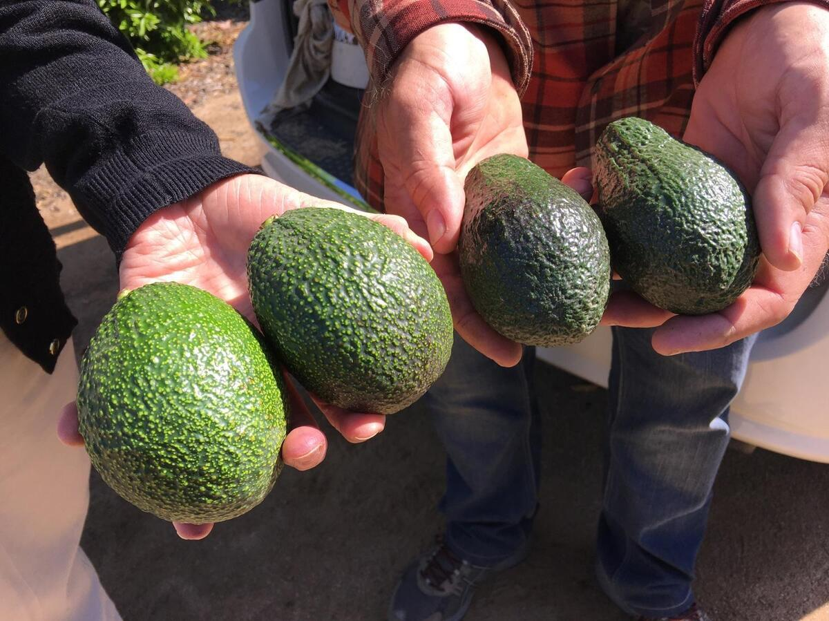 You Look Like An Avocado Quote: California Is On Its Way To Having An Avocado Crop Year