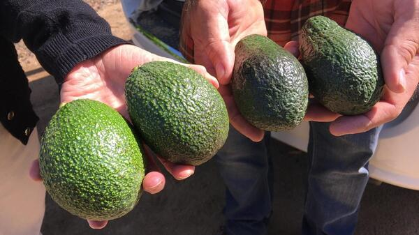 The avocados on the right are Hass, America