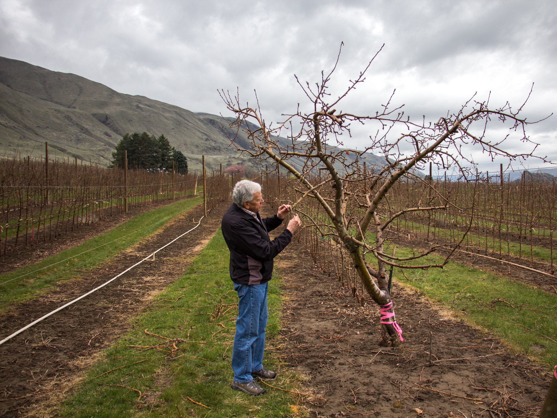 Patent holder Bruce Barritt stops by the mother of all Cosmic Crisp trees. Cosmic Crisp was the result of breeding project at Washington State University in the 1990s.     (Dan Charles/NPR)