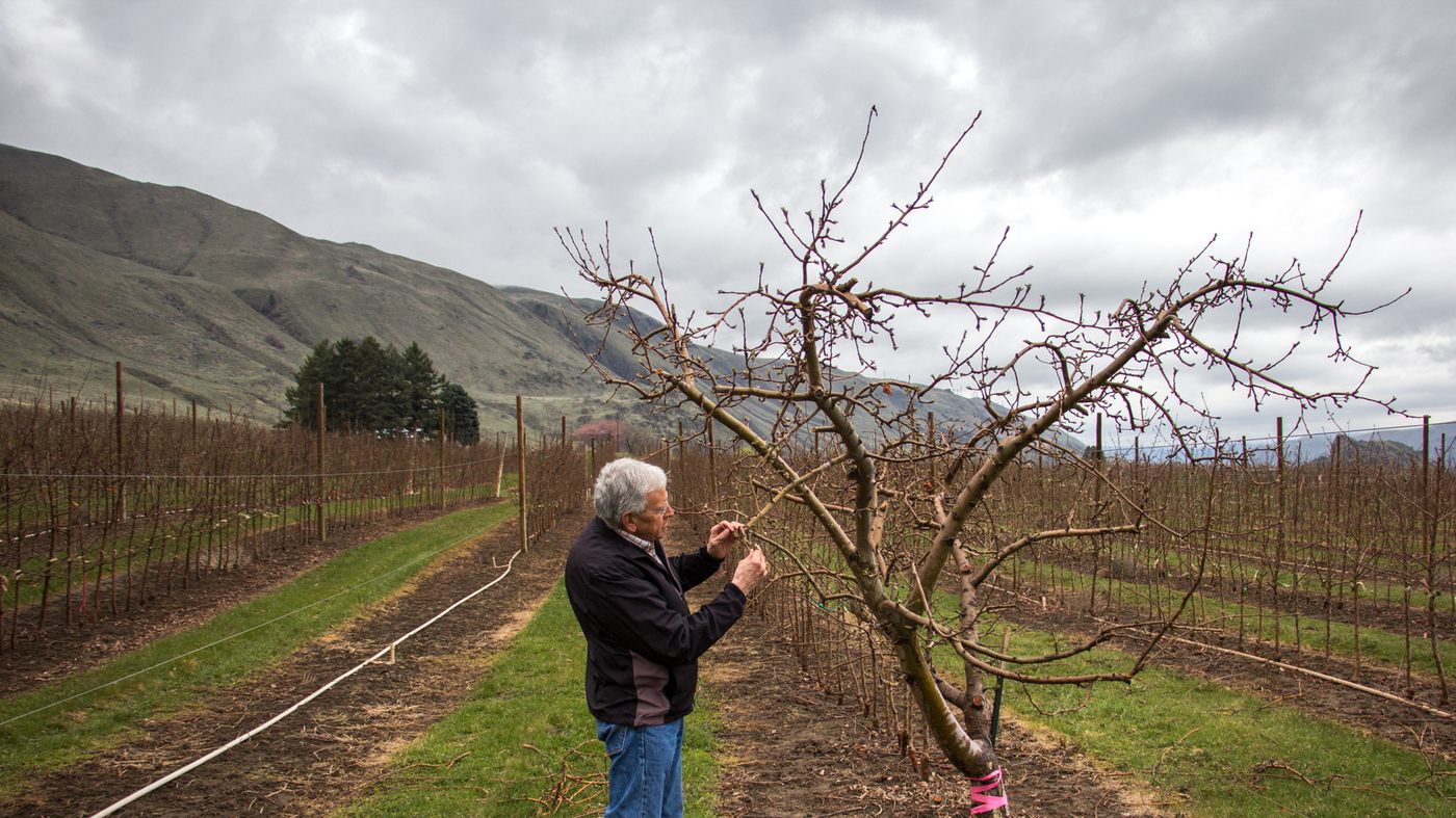Washington apple growers sink their teeth into the new cosmic washington apple growers sink their teeth into the new cosmic crisp the salt npr buycottarizona