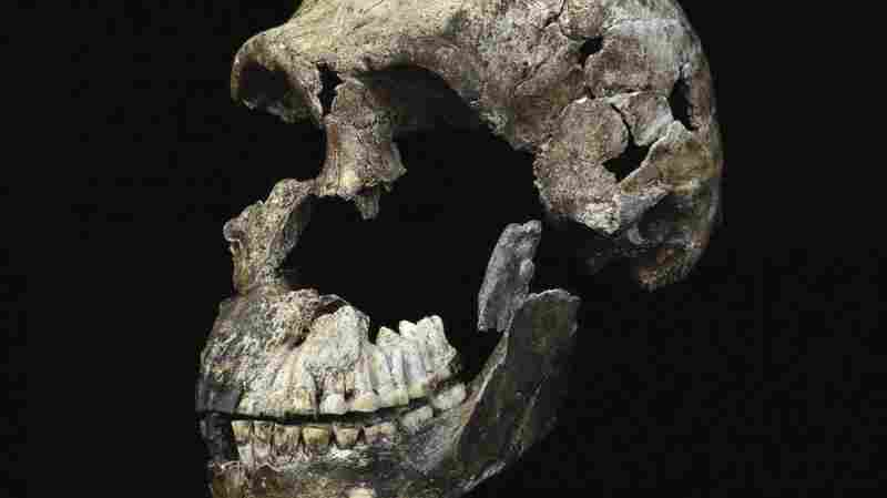 Primitive Humanlike Species Lived More Recently Than Expected