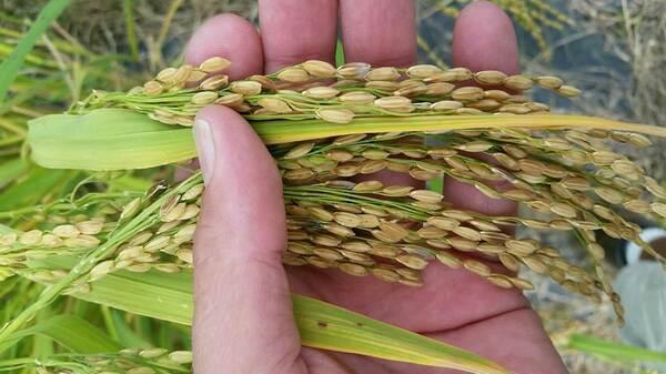 An upland rice strain.
