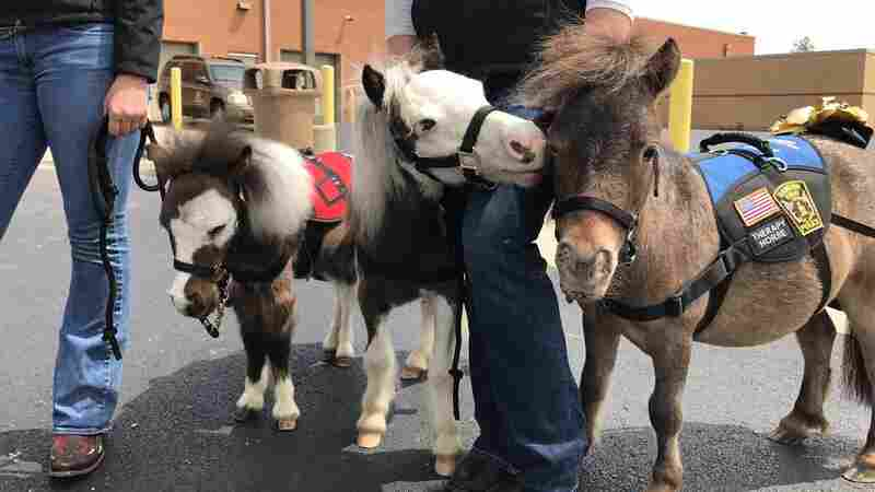 Stressed Out At The Airport? Now You Can Play With A Mini Horse
