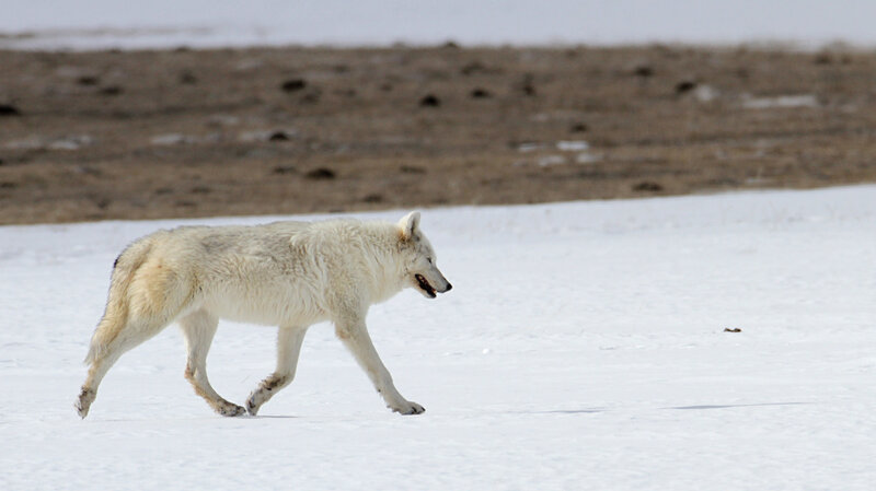 Rare White Wolf In Yellowstone Was Shot, Park Reveals : The Two-Way