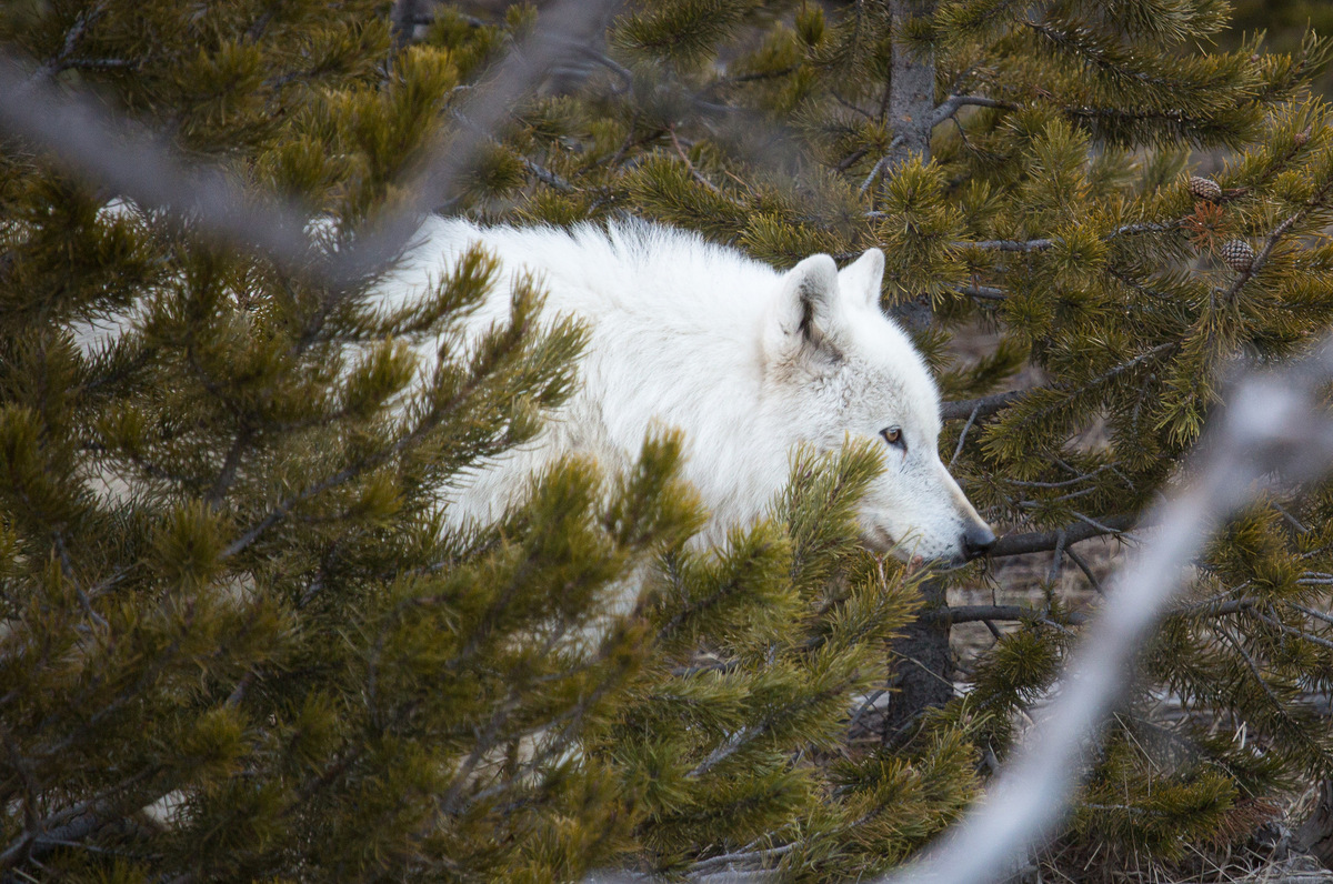 Rare White Wolf Yellowstone Shot Park Reveals