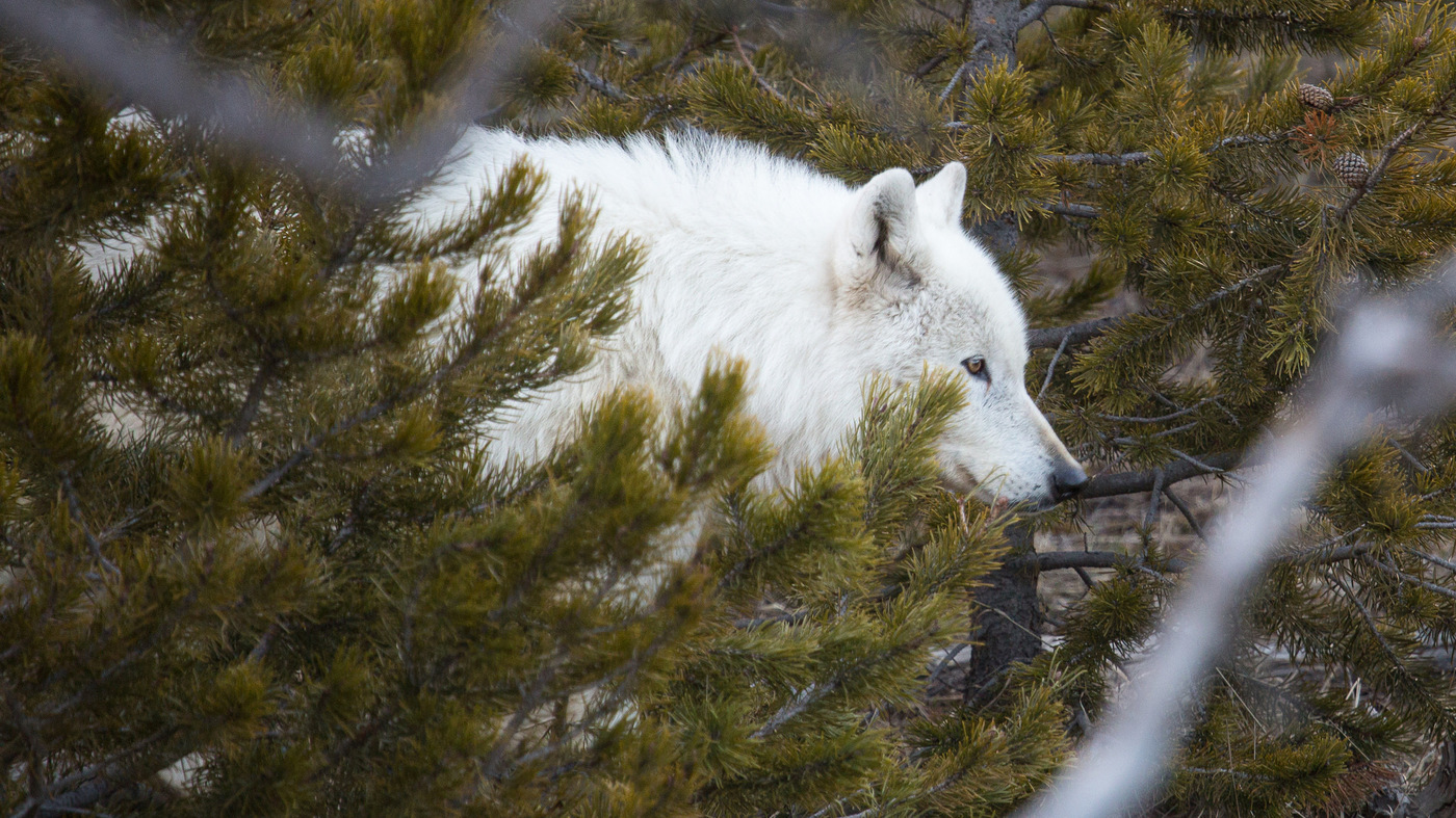 Rare White Wolf In Yellowstone Was Shot Park Reveals